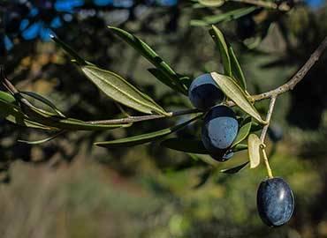 Huile d'Olive Bio des Pouilles : l'Or Vert